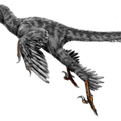 Graciliraptor pictures